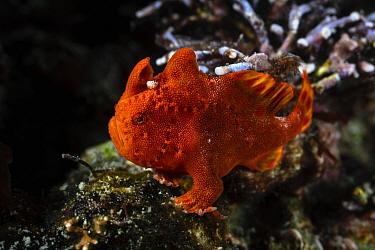 Painted frogfish (Antennarius pictus) juvenile, about 3cm in length, Kanagawa, Japan.