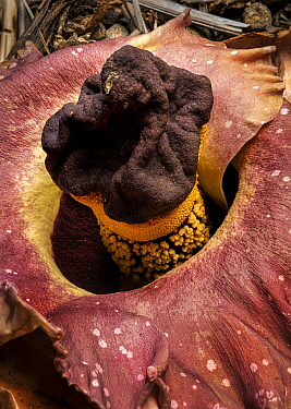 Elephant foot yam (Amorphophallus paeoniifolius) one of largest flowers in the world. Blooming in Papillote Garden, Dominica, West Indies.