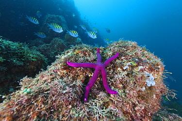 Tamarisk sea star (Tamaria stria), Botella Point, Gulf of California (Sea of Cortez), Mexico, August