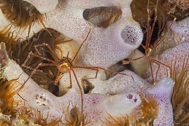 Panamic arrow crab (Stenorhynchus debilis), Puerto Escondido, Loreto Bay National Park, Gulf of California (Sea of Cortez), Mexico, August