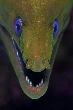 Panamic green moray (Gymnothorax castaneus), Puerto Escondido, Loreto Bay National Park, Gulf of California (Sea of Cortez), Mexico, August