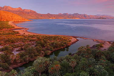 Date palm (Phoenix dactylifera), introduced palm, Agua Verde looking towards Loreto, Gulf of California (Sea of Cortez), Mexico, August