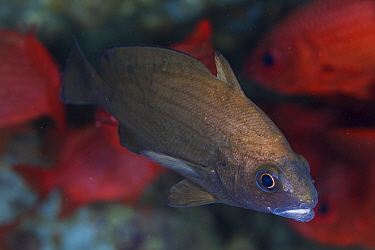 Pacific highhat (Pareques sp.), Punta Gorda, south of El Tecolote, Gulf of California (Sea of Cortez), Mexico, September