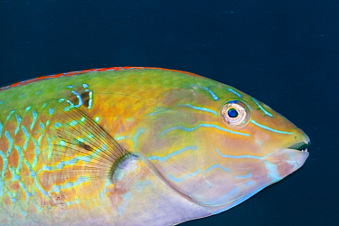 Chameleon wrasse (Halichoeres dispilus), Las Cruces, south of El Tecolote, Gulf of California (Sea of Cortez), Mexico, September