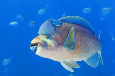 Bumphead parrotfish (Scarus perrico), El Pardito Island, Sea of Cortez (Gulf of California), Mexico, September