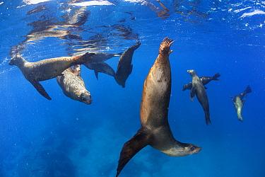 Californian sea lion (Zalophus californianus), La Lobera Islet, near San Jose Island, Gulf of California Islands Protected Area, Gulf of California (Sea of Cortez), Mexico, September