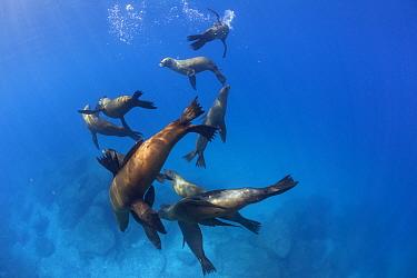 Californian sea lions (Zalophus californianus), La Lobera Islet, near San Jose Island, Gulf of California Islands Protected Area, Gulf of California (Sea of Cortez), Mexico, September