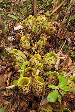 Pitcher plants (Nepenthes sp) on the ground of a Bornean forest in Kalimantan, Indonesian Borneo