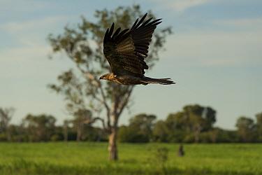 Whistling kite (Haliastur sphenurus) in flight, Yellow Water Wetlands, Northern Territory, Australia.