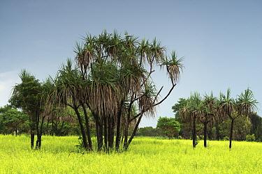 Screw pines (Pandanus spiralis) Northern Territory, Australia.