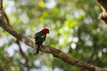 Australian king parrot (Alisterus scapularis) perched on branch, Atherton Tablelands, Queensland, Australia.
