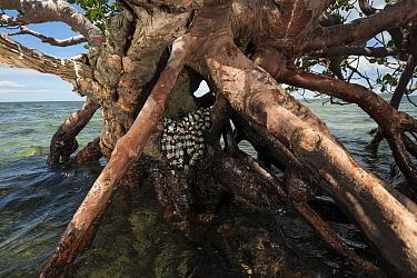 Banded sea kraits (Laticauda colubrina) in roots of Mangrove tree at low tide, Mali Island, Macuata Province, Fiji, South Pacific.