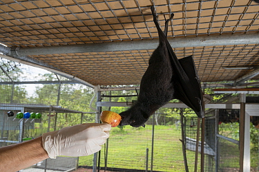 Central / Black flying fox (Pteropus alecto) Rusty being mischievous as carer feeds him apple in the aviary, Tolga Bat Hospital, North Queensland, Australia November 2012