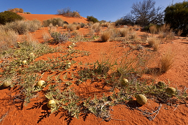 Paddy melon (Cucumis myriocarpus) growing in red sand dunes of the outback. It is a prostrate or climbing annual herb native to southern Africa and is a weed in Australia, South Australia, Australia