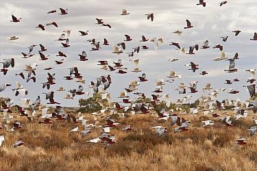 Galahs (Eolophus roseicapilla) and Little corellas (Cacatua sanguinea) feed on the seeds of the abundant grass fields of the outback, South Australia, Australia