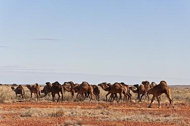 Herd of wild Dromedary camels (Camelus dromedarius) South Australia, Australia