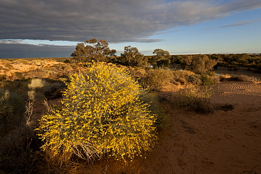 Wildflowers in sand dunes by Warburton River near Cowarie Station, South Australia