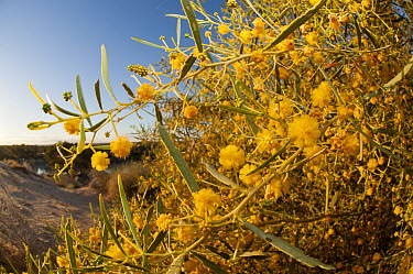 Yellow wattle (Acacia sp) flowers in sand dunes by Warburton River near Cowarie Station, South Australia