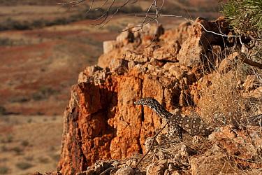 Juvenile Perentie monitor lizard (Varanus gigantus) on rocks in outback, South Australia, Australia