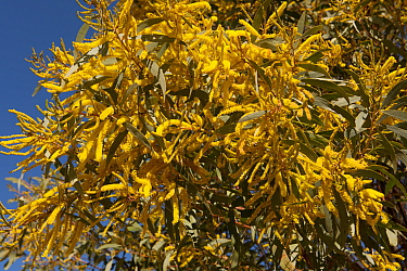 Yellow Wattle (Acacia sp) flowers in Australian outback, Queensland, Australia