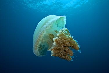 Large jellyfish (Rhizostomae sp) which hosts juvelile mackerels, Great Barrier Reef, Queensland, Australia