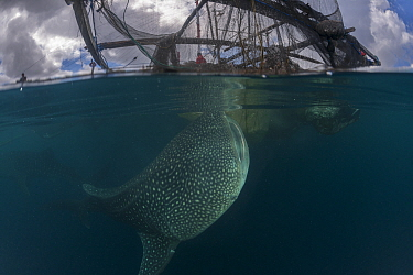 Whale shark (Rhincodon typus) near a fishing device called Bagan, a stationary outrigger boat, with a net between outriggers and strong light at night to attract anchovies and scad. The whale sharks a...