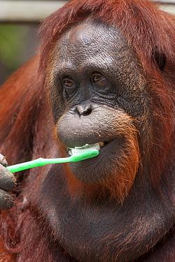Bornean Orangutan (Pongo pygmaeus wurmbii) 'Siswi' brushes her teeth, a behaviour she mimics from humans, Camp Leakey, Tanjung Puting National Park, Borneo, Central Kalimantan, Indonesia