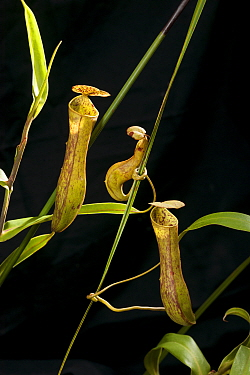 Pitcher plants (Nepenthes sp) Bako National Park, Sarawak, Malaysian Borneo