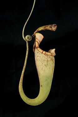Pitcher plant (Nepenthes sp) Bako National Park, Sarawak, Malaysian Borneo