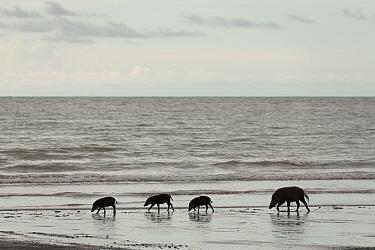 Bornean bearded pigs (Sus barbatus) mother and young, foraging on Teluk Assam Beach. Bako National Park, Sarawak, Borneo, Malaysia