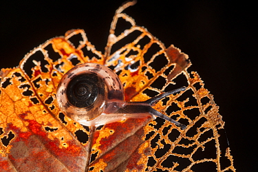 Land snail on a decaying leaf in the forest, Bako National Park, Sarawak, Australia