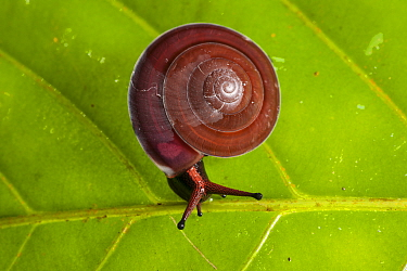 Land snail on a leaf in the forest, Bako National Park, Sarawak, Borneo