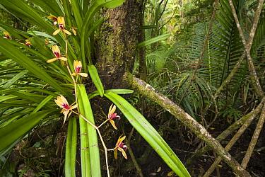Wild orchids of Sarawak, Bako National Park, Sarawak, Malaysian Borneo