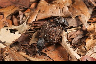 Scarab beetles (Scarabaeidae) rolling ball of dung, Tanjung Puting National Park, Borneo, Central Kalimantan, Indonesia