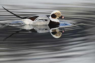 RF - Long-tailed duck or Old-squaw (Clangula hyemalis) male, Varanger Peninsula, Norway, Scandinavia (This image may be licensed either as rights managed or royalty free.)
