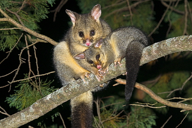 Common brushtail possum (Trichosurus vulpecula vulpecula) female with an out-off-pouch young, Sundown National Park, Queensland, Australia.