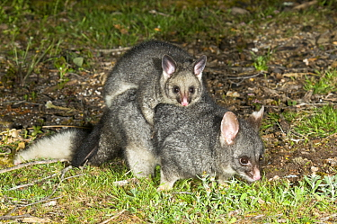 Common brushtail possum (Trichosurus vulpecula hypoleucos) female carrying out-off-pouch young, Waychinicup National Park, Western Australia.