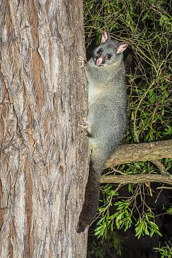 Common brushtail possum (Trichosurus vulpecula hypoleucos), Leeuwin Naturaliste National Park, Western Australia.