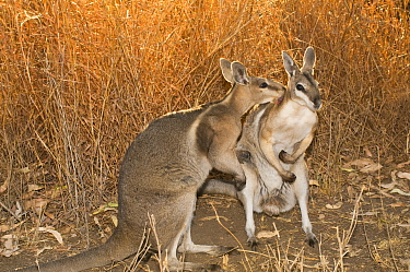 Bridled nailtail wallaby (Onychogalea fraenata) a peaceful encounter between two males leading to mutual grooming rather than fight typical among other macropods, Idalia National Park, Queensland, Aus...