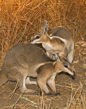 Bridled nailtail wallaby (Onychogalea fraenata) a peaceful encounter between two males, Idalia National Park, Qld, Australia. Endangered species.
