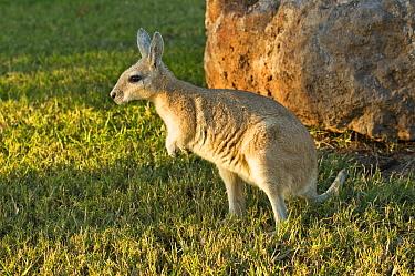 Northern nailtail wallaby (Onychogalea unguifera) - Captive, Doon Doon Station, Kimberely Region, Western Australia. June.