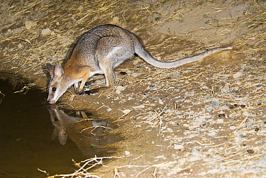 Black-striped wallaby (Notamacropus dorsalis), (formerly Macropus dorsalis) drinking, Idalia National Park, Queensland, Australia.