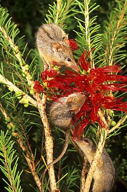 Honey possum (Tarsipes rostratus), feeding on Honey possum favourites, the nectar of One-sided Bottlebrush (Calothamnus quadrifidus), at night, Peak Charles National Park, Australia.