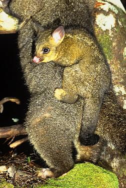 Common brushtail possum (Trichosurus vulpecula fuliginosus) female carrying young, Cradle Mountain National Park, Australia.