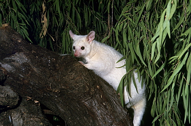 Northern brushtail possum (Trichosurus vulpecula arnhemensis) white morph. Captive.