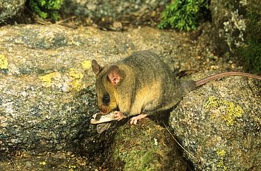 Mountain pygmy-possum (Burramys parvus) consuming its staple food Boggong moth (Agrotis infusa) on which it fattens to survive the long alpine winter, Kosciuszko National Park, Australia. Critically e...