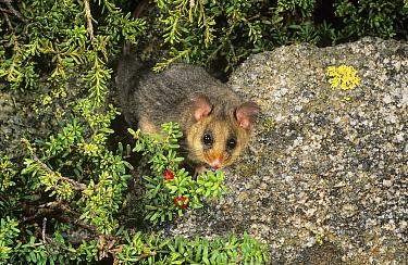 Mountain pygmy-possum (Burramys parvus) consuming berries of Mountain plum-pine (Podocarpus lawrencei), Kosciuszko National Park, Australia. Critically endangered species.