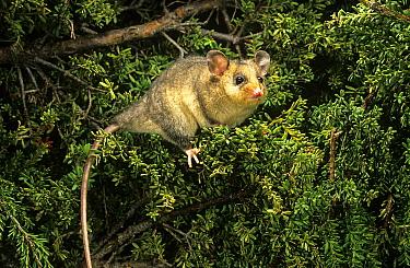 Mountain pgmy-possum (Burramys parvus), Kosciuszko National Park, Australia. Critically endangered species.