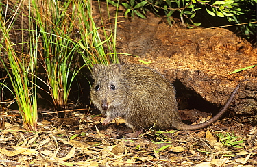 Gilbert's Potoroo (Potorous gilberti), Two Peoples Bay Nature Reserve, Western Australia. Critically endangered species.