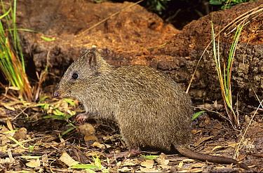 Gilbert's potoroo (Potorous gilberti), Two Peoples Bay Nature Reserve, Western Australia, Australia. Critically endangered species.